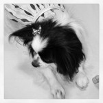 bella puppy kisses papillon